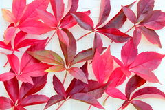 Red vine leaves Royalty Free Stock Photos