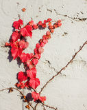 Red vine plant Royalty Free Stock Images