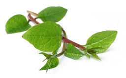 Red vine spinach Stock Photo