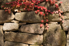 Red vine on a stone wall Royalty Free Stock Image