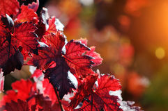 Red vine tree leaves Stock Photos