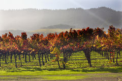 Red Vines Leave Under Sun Beams Vineyards Napa Royalty Free Stock Photos