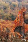 Red vineyard Royalty Free Stock Image