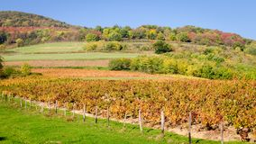 The red vineyard and the forest. A red color vineyard and a forest at fall season stock images