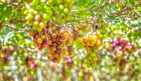 Red vineyards in the early sun Royalty Free Stock Images