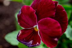 Japanese Red Viola Royalty Free Stock Photos