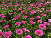 Red violet daisies in the garden. Beautiful red violet daisies in the garden Royalty Free Stock Photo
