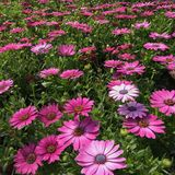 Red violet daisies in the garden. Beautiful red violet daisies in the garden Stock Photography