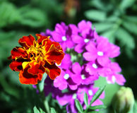 Red and violet flowers Royalty Free Stock Photos