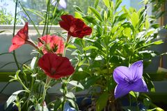 Red, violet and green - summer palette of small garden on the balcony. Flowers of petunia hybrida and platycodon grandiflorus and leaves of osteospermum stock photography