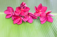 Red-violet plumeria flower Stock Photography