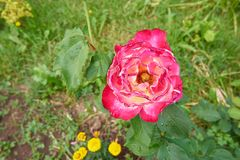 A red and violet rose in a garden in summer. A red and violet rose in a garden in summer and some yellow flowers and grass in background Stock Photo