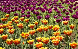 Red and violet tulips Royalty Free Stock Photography