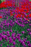 Red and violet tulips. Violete and red tulips in the famous horticultural facility Arboretum, Slovenia Stock Image