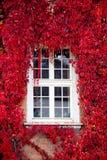 Red Virginia creeper around window. Autumn, october, red Virginia creeper (Parthenocissus quinquefolia) around window Stock Photography