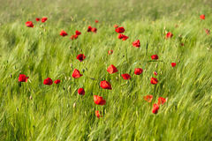 Red vivid poppies. On green wheat field in a windy day Royalty Free Stock Images