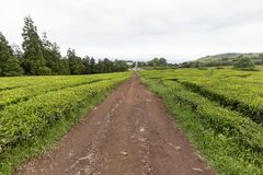 Road at Tea plantation. A red volcanic road leading down between rows of green tea growing at a plantation in the Azores stock photos