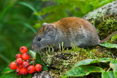 Red vole Stock Photos