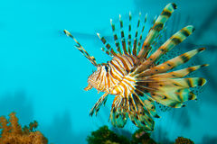 Red or Volitan Lionfish Royalty Free Stock Image