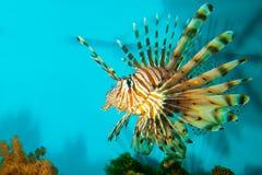 Red or Volitan Lionfish. (Pterois volitans) in Aquarium Royalty Free Stock Image