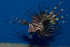 Red Volitan Lionfish. The Volitan Lionfish is also known as the, Common Lionfish, Red Lionfish, Turkeyfish and Butterfly Cod. It's coloration can vary Stock Image