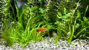 Red Wag Swordtail Stock Image