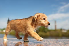 Red walking dog. Red puppy walking on granite stone Stock Image