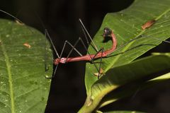 Red Walkingstick Stock Image