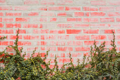 Red wall bricks with ivy Royalty Free Stock Photography
