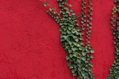 Red wall with green leaves as background, texture. Green ivy plant against red surface. Red and green contrast. Full frame background stock photography