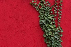 Red wall with green leaves as background, texture. Green ivy plant against red surface. Red and green contrast. Full frame background royalty free stock image