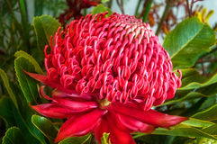 Red Waratah Flower Stock Images