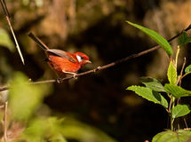 Red Warbler Royalty Free Stock Image