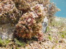 Red Warty Frogfish next to the coral.