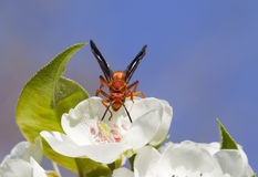 Red wasp. Sitting on the pear flowers Royalty Free Stock Images