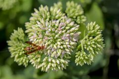 Red wasp in the flower garden. Red wasp landed on flower in the garden Stock Photos