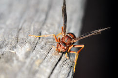 Red Wasp Royalty Free Stock Photos