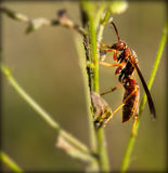 Red wasp. On a stem of a flower with a nicely blurred background Stock Photos