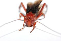 Red wasp Stock Image