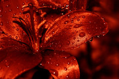 Red water drops lilly Royalty Free Stock Photos
