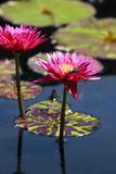 Red water lilies Royalty Free Stock Photography