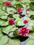 Red water lilies in full bloom with pads in pond Stock Photos