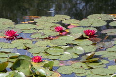 Red water-lilies on lake. Rare red water-lilies on a romantic lake Royalty Free Stock Image