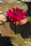Red water lily. A red water lily blossom stock image