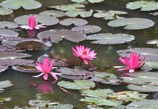 Red water lily. Is a beautiful floating plant native to India. It is widely cultivated in other countries. Flowers are intensely red or rose-colored. Sepals are Stock Photo