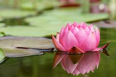 Red water lily Stock Images