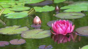 Red water lily stock video footage