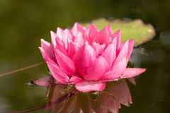 Red water lily flower Royalty Free Stock Photography