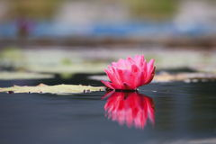 Red Water lily Royalty Free Stock Image