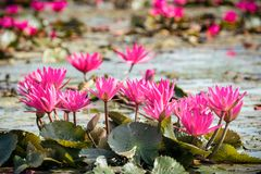 Red water lily in lake Royalty Free Stock Photos